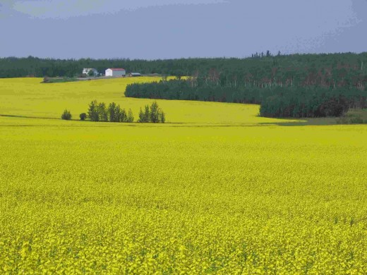 Canada has huge potential for growing biofuel feedstock.